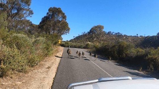 when emus took over the road